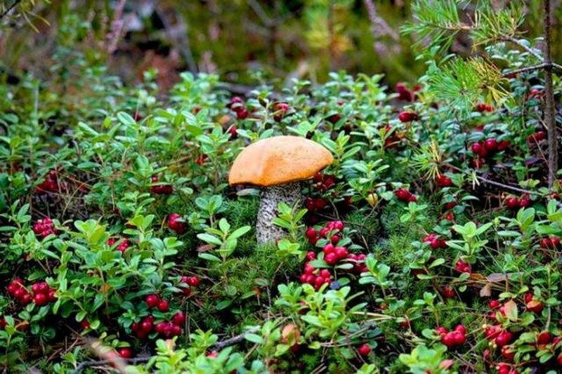 Новый Лесной кодекс не меняет порядок сбора грибов и ягод в лесах Беларуси